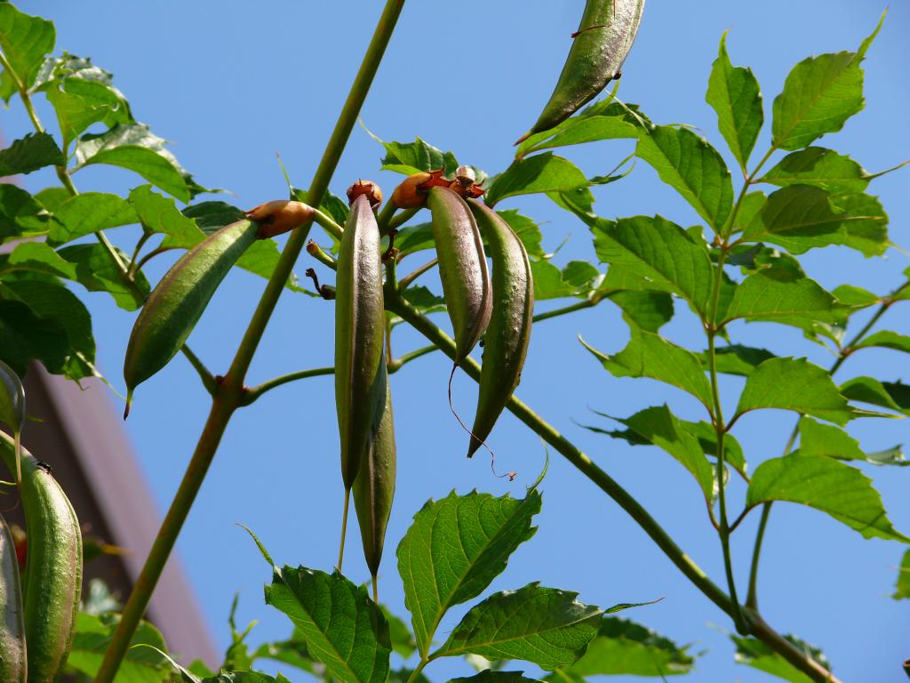 Milin amerykański (Campsis radicans)